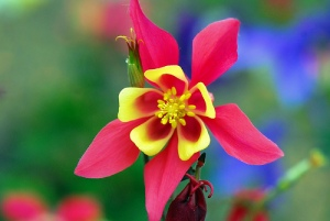 An image of a Columbine flower.